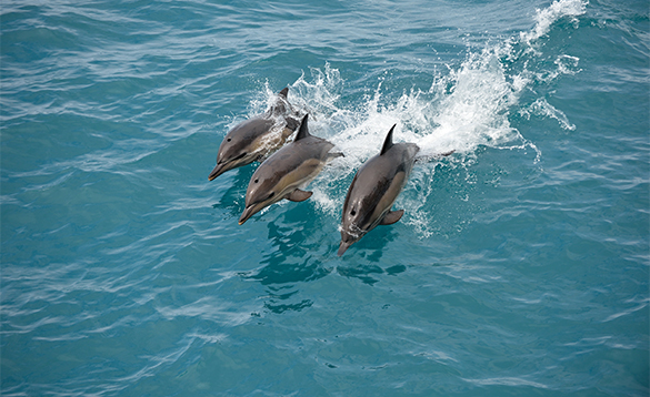 Trio of dolphins swimming in the Caribbean/