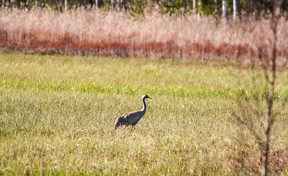 Migrating grey crowned crane Varmland/