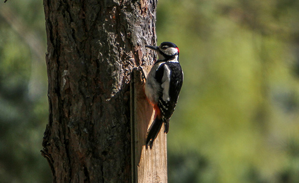 Great Spotted woodpecker/