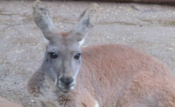 close up of the head of a kangaroo/
