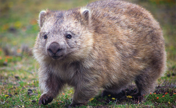 wombat walking across grass/