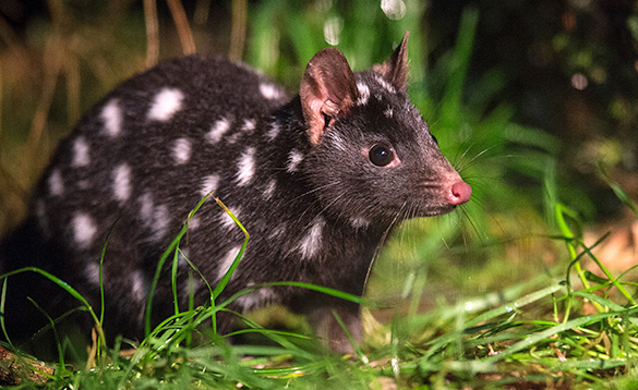 Australian quoll , small mammal with black body and white spots/