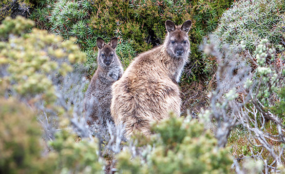 looking through bushes to two wallabies/